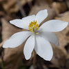 Bloodroot (Sanguinaria Canadensis)<br /> March 26, 2017