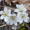 Sharp-lobed Hepatica (Hepatica acutiloba)<br /> March 26, 2017