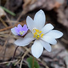Bloodroot (Sanguinaria Canadensis) plus Hepatica.<br /> March 26, 2017