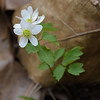 Rue Anemone (Anemonella thalictroides)<br /> March 26, 2017