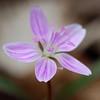 Spring Beauty<br /> April 19, 2009 at Falls Ridge, VA