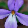 Birdfoot Violet<br /> April 19, 2009 at Falls Ridge, VA
