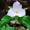 Large-flowered White Trillium (Trillium grandiflorum)<br /> April 19, 2009 at Falls Ridge, VA