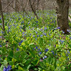 Virginia Bluebells - Mertensia virginica  beside sorth fork of Roanoke River at Bonners Run, Shawsville VA, on April 12, 2018.