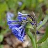 Virginia bluebells - Mertensia virginica .