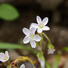 Spring Beauty - Claytonia virginica.