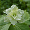 Mutant version of Grandiflora Trillium found at Green Hill Park.  <br /> Seems to reoccur each year from its rhizome and there are several examples there..