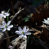 Hepatica and bloodroot.<br /> April 3, 2011 at Falls Ridge, VA