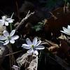 Hepatica and bloodroot.<br /> April 3, 2011 at Falls Ridge, VA