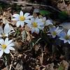 Bloodroot<br /> April 3, 2011 at Falls Ridge, VA