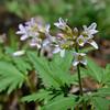Cut-leafed Toothwort<br /> April 3, 2011 at Falls Ridge, VA