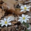 Bloodroot<br /> March 22, 2011 at Cedar Run, VA
