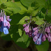 Virginia Bluebells in early stages of blooming<br /> April 23, 2014 at Bonners Run; Shawsville, VA.