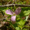 Large-flowred trillium,   Craig Creek, 3 May.