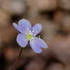 Hepatica (Hepatica nobilis) Three-lobed leaves that resemble the human liver!