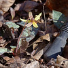 Trout lily, Cedar Run, 4 March 2018. Trekking pole for scale.