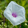 A morning-glory blossom.