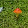 Lovely orange fungus growing among the moss.  John Ford identifies it as Amanita jacksonii - Jackson's Amanita.