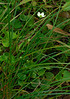 Grass of Parnassis (Parnassia glauca)<br /> August 18, 2008