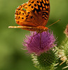 Great Spangled Fritillary (Speyeria cybele) on a thistle.<br /> August 16, 2008