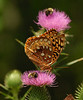 Great Spangled Fritillary (Speyeria cybele) and a bumblebee on a thistle.<br /> August 16, 2008