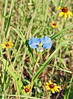 Erect Dayflower {Commelina erecta}<br /> College Station, TX<br /> © WEOttinger, The Wildflower Hunter - All rights reserved<br /> For educational use only - this image, or derivative works, can not be used, published, distributed or sold without written permission of the owner.