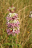 Lemon mint or Purple Horse mint {Monarda citriodora}<br /> Taken just outside College Station, Texas<br /> © WEOttinger, The Wildflower Hunter - All rights reserved<br /> For educational use only - this image, or derivative works, can not be used, published, distributed or sold without written permission of the owner.