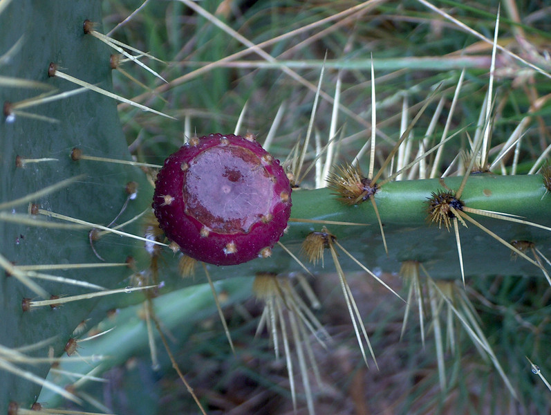 Texas Prickly Pear Cactus {Opuntia lindheimeri}<br /> Hondo, TX<br /> © WEOttinger, The Wildflower Hunter - All rights reserved<br /> For educational use only - this image, or derivative works, can not be used, published, distributed or sold without written permission of the owner.