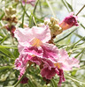 Desert Willow {Chilopsis linearis}<br /> Independence, TX<br /> © WEOttinger, The Wildflower Hunter - All rights reserved<br /> For educational use only - this image, or derivative works, can not be used, published, distributed or sold without written permission of the owner.