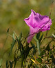 Salt-Marsh Morning Glory {Ipomoea sagittat} <br /> Aransas National Wildlife Refuge, TX<br /> <br /> © WEOttinger, The Wildflower Hunter - All rights reserved<br /> For educational use only - this image, or derivative works, can not be used, published, distributed or sold without written permission of the owner.