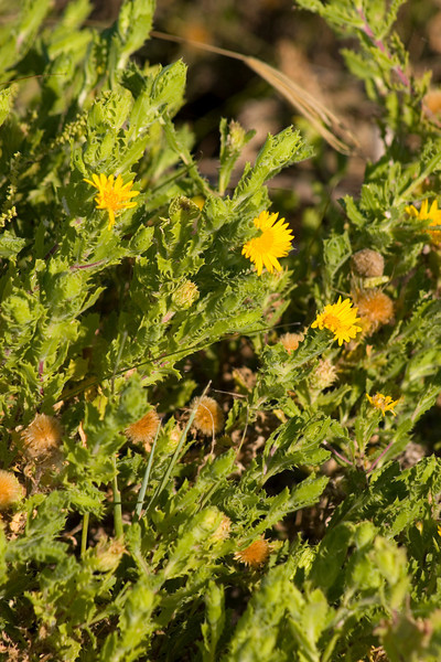 Camphor Daisy {Machaeranthera phyllocephala} <br /> Aransas National Wildlife Refuge, TX<br /> © WEOttinger, The Wildflower Hunter - All rights reserved<br /> For educational use only - this image, or derivative works, can not be used, published, distributed or sold without written permission of the owner.