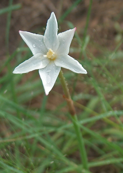 Rain Lily or Prairie Lily {Cooperia drummondii}<br /> Hondo, TX<br /> © WEOttinger, The Wildflower Hunter  -  All rights reserved<br /> For educational use only - this image, or derivative works, can not be used, published, distributed or sold without written permission of the owner.