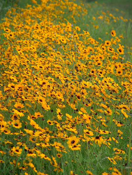 Plains Coreopsis Enmasse {Coreopsis tinctoria}<br /> Taken outside College Station, Texas<br /> © WEOttinger, The Wildflower Hunter - All rights reserved<br /> For educational use only - this image, or derivative works, can not be used, published, distributed or sold without written permission of the owner.