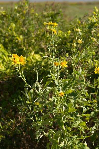 Golden Crownbeard {Verbesina enceloides} Aransas National Wildlife Refuge, TX <br /> © WEOttinger, The Wildflower Hunter - All rights reserved<br /> For educational use only - this image, or derivative works, can not be used, published, distributed or sold without written permission of the owner.