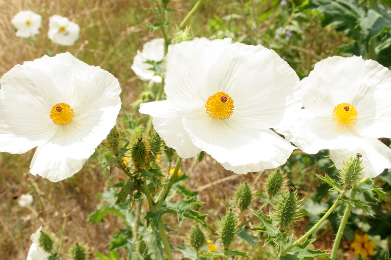 White Prickly Poppies {Argemone albiflora}.<br /> Independence, Texas<br /> © WEOttinger, The Wildflower Hunter - All rights reserved<br /> For educational use only - this image, or derivative works, can not be used, published, distributed or sold without written permission of the owner.