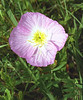 Showy Evening Primrose {Oenothera speciosa}<br /> roadside east of College Station, TX<br /> © WEOttinger, The Wildflower Hunter - All rights reserved<br /> For educational use only - this image, or derivative works, can not be used, published, distributed or sold without written permission of the owner.