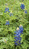 Texas Bluebonnets {Lupinus texensis}<br /> Taken just outside College Station, Texas<br /> <br /> © WEOttinger, The Wildflower Hunter - All rights reserved<br /> For educational use only - this image, or derivative works, can not be used, published, distributed or sold without written permission of the owner.