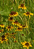 Brown-eyed Susan {Rudbeckia hirta}<br /> <br /> © WEOttinger, The Wildflower Hunter - All rights reserved<br /> For educational use only - this image, or derivative works, can not be used, published, distributed or sold without written permission of the owner.