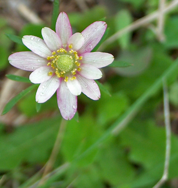Pink Ten-Petal Anemone or Windflower {Anemone heterophylla}College Station, TX<br /> © WEOttinger, The Wildflower Hunter - All rights reserved<br /> For educational use only - this image, or derivative works, can not be used, published, distributed or sold without written permission of the owner.