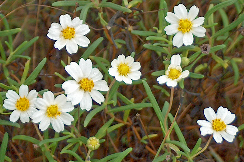 Plains Black-Foot or Black-Foot Daisy or Arnica {Melampodium leucanthum}<br /> Hondo, TX<br /> © WEOttinger, The Wildflower Hunter - All rights reserved<br /> For educational use only - this image, or derivative works, can not be used, published, distributed or sold without written permission of the owner.