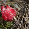 Red broomrape, a parasitic root growth emerging from the ground.