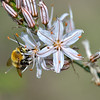 White Asphodalis aestivalis  with a pollinating bee.