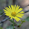Doronicum orientale (Leopard's Bane) is an ornamental plant in the Asteraceae family.