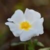 Cytinus hypocistus (found especially on Cistus sp.) , in the rockrose family Cistaceae.