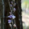 """Limodorum abortivum.<br /> According to Wikipedia, """"Limodorum abortivum, commonly known as Violet Limodore, is a species of myco-heterotrophic, achlorophyllous orchid and is native to central and eastern Europe, western Asia and the Mediterranean area."""""""