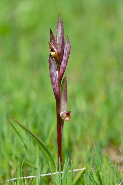 Serapias bergonii - Long-lipped Tongue Orchid.<br /> photographed April 8, 2014