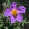 A purple Cistus creticus,  of the rockrose family Cistaceae.