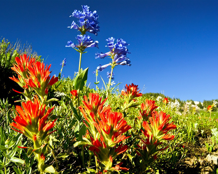 Paintbrush and Penstemon, Albion Basin, Utah