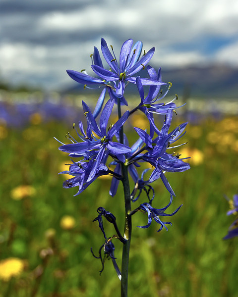 Camas Lilly, Flat Ranch, Idaho