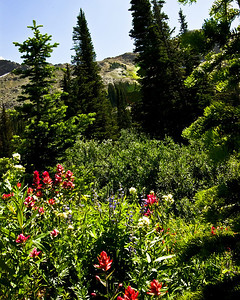 Albion Basin, Utah Wildflower Mix